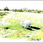 Sheep around Stourpaine
